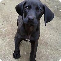Adopt A Pet :: Little Buddy - Huntsville, AL