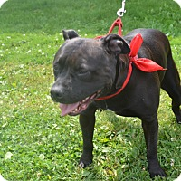 Pit Bull Terrier Dog for adoption in East Smithfield, Pennsylvania - Chance