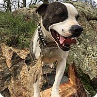 Adopt A Pet :: Violette - Lodi, CA