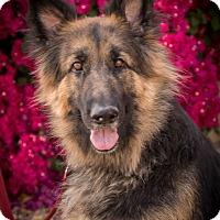 Adopt A Pet :: Morley - Phoenix, AZ