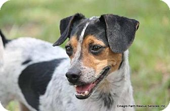 Jack Russell Terrier/Terrier (Unknown Type, Medium) Mix Dog for adoption in Leesburg, Florida - Sweetz