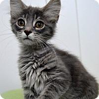 Adopt A Pet :: Doodle - St. Charles, MO