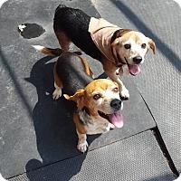 Adopt A Pet :: Hershey and Kisses - cicero, NY