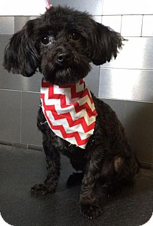 Maltese/Toy Poodle Mix Dog for adoption in McKinney, Texas - Steve Perry