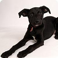 Adopt A Pet :: Melanie Labmix - St. Louis, MO