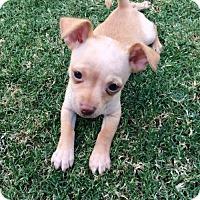 Adopt A Pet :: Rudy - Tempe, AZ