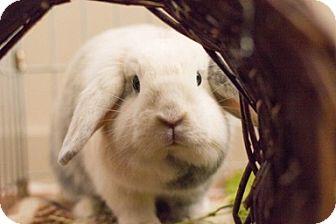 Mini Lop for adoption in Livermore, California - Ella