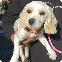 Adopt A Pet :: Brandy - Brooklyn, NY