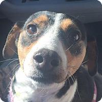 Adopt A Pet :: Lulu Louise LBM in RI COME MEET ME!! - Providence, RI