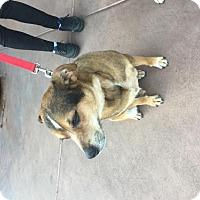 Australian Cattle Dog Mix Dog for adoption in Glendale, Arizona - Madden