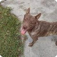 Adopt A Pet :: Fudge - New Smyrna Beach, FL