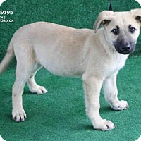 Adopt A Pet :: *ANDREW - Hanford, CA