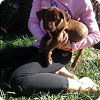 Labrador Retriever/Mixed Breed (Medium) Mix Puppy for adoption in Jacksonville, Florida - Hershey