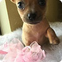 Adopt A Pet :: Mini Marshmallow - Fresno, CA