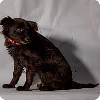 Adopt A Pet :: Lil Bit - Breinigsville, PA