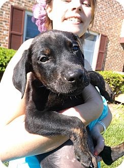 Doberman Pinscher Mix Puppy for adoption in South Jersey, New Jersey - Troy
