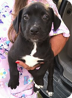 Labrador Retriever Mix Puppy for adoption in Waldorf, Maryland - Gretchen
