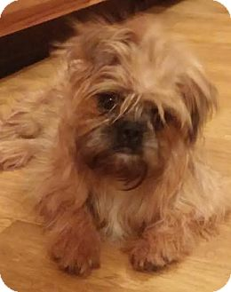 Paisley   Adopted Puppy   Urbana, OH   Brussels Griffon Adopt A Brussels Griffon Puppy