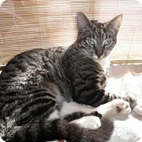 Domestic Shorthair Cat for adoption in Burlington, Ontario - Chicken