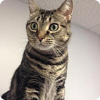 Adopt A Pet :: Munchkin - Milford, MA