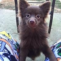 Adopt A Pet :: Paxton - Alpharetta, GA