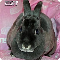 Mini Rex for adoption in Walker, Louisiana - Mist