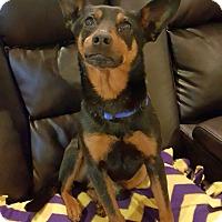 Adopt A Pet :: Sarge - Knoxville, TN