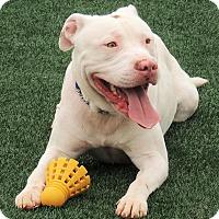 Adopt A Pet :: Zane - Lincolnton, NC