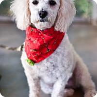 Adopt A Pet :: Cupcake - Calgary, AB