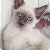 Adopt A Pet :: Versace - Trevose, PA
