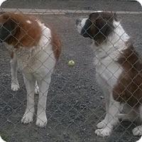 Adopt A Pet :: Bruiser and Peyton - Burnham, PA