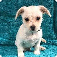 Adopt A Pet :: Tom - Alta Loma, CA