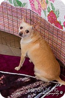 Corgi/Chihuahua Mix Dog for adoption in Corona, California - Hemi, Precious Soul