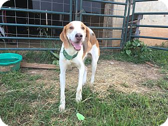 Coonhound Mix Dog for adoption in Pittsboro, North Carolina - Willie Lyle Nelson