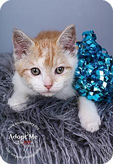 Domestic Shorthair Kitten for adoption in Cincinnati, Ohio - Freddie