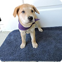 Shepherd (Unknown Type) Mix Puppy for adoption in Detroit, Michigan - Pichu-Pending!
