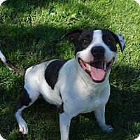 American Bulldog Mix Dog for adoption in Lacon, Illinois - Seamus