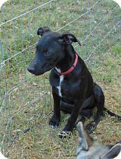 Labrador Retriever Mix Puppy for adoption in Seattle, Washington - Beauty