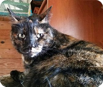 Domestic Shorthair Cat for adoption in Mooresville, North Carolina - A..  Selma