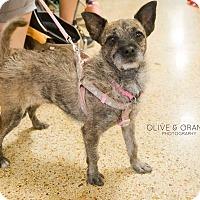 Adopt A Pet :: Shenzi - Concord, CA