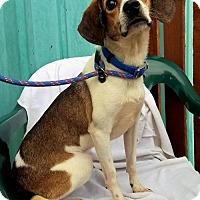 Beagle Mix Dog for adoption in Kansas City, Missouri - Wrigley