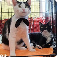 Domestic Shorthair Kitten for adoption in Merrifield, Virginia - Victory