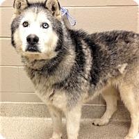 Adopt A Pet :: Niko - Shorewood, IL