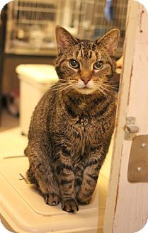 Domestic Shorthair Cat for adoption in Carlisle, Pennsylvania - Otis