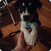 Adopt A Pet :: Apollo - North Brunswick, NJ