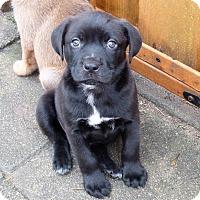 Adopt A Pet :: GILBERT - Memphis, TN