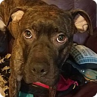 Adopt A Pet :: Gus - Allentown, PA