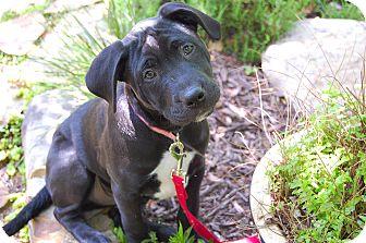 Labrador Retriever Mix Puppy for adoption in Alpharetta, Georgia - Gunter