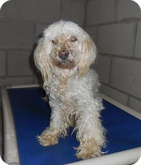 Poodle (Miniature)/Terrier (Unknown Type, Small) Mix Dog for adoption in Phoenix, Arizona - Sunshine