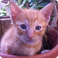 Adopt A Pet :: Popcorn - Ft. Lauderdale, FL